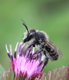 Megachile sp