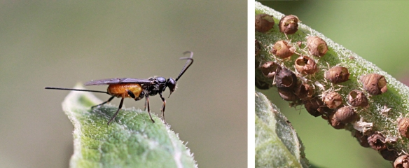 Braconid wasp and mummy cases
