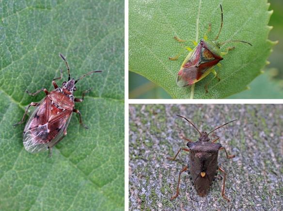 Birch catkin bug, Birch shield bug and Red-legged shield bug