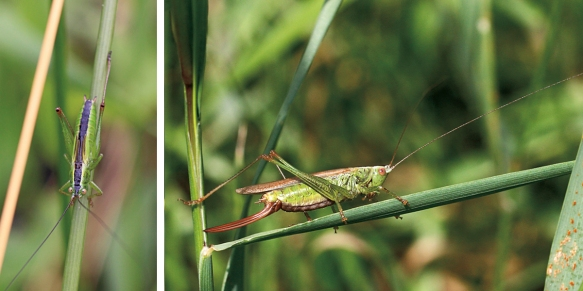 Long-winged conehead nymph and female adult