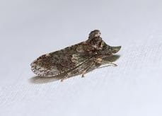 Leafhopper - Ledra aurita