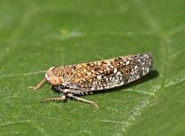Orientus ishidae (adult)