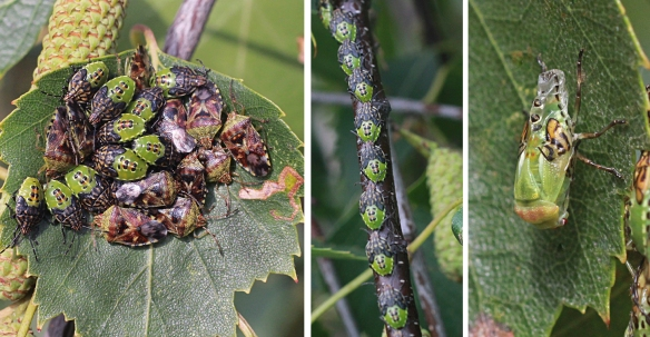 Parent bug nymphs and adults, and a moult