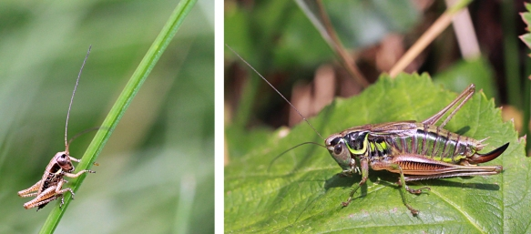 Roesel's bush-cricket nymph and female adult