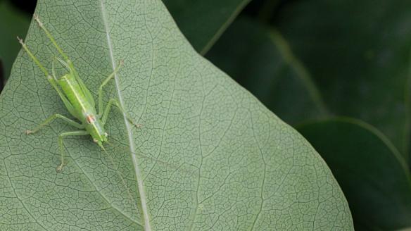 Southern oak bush-cricket male adult