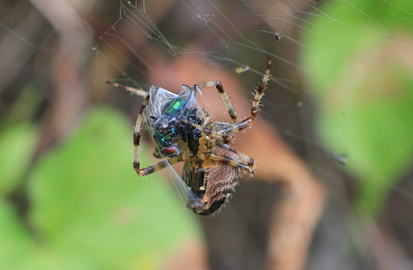 Common garden spider, Araneus diadematus, wrapping a bluebottle fly.