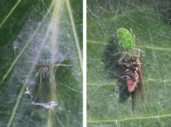 Nigma walckenaeri under web, and with prey