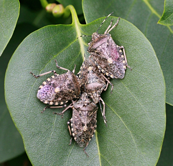 Mottled shield bugs Rhaphigaster nebulosa