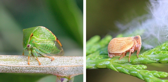 Buffalo treehopper and Agalmatium bilobum