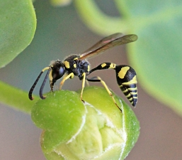 Potter wasp
