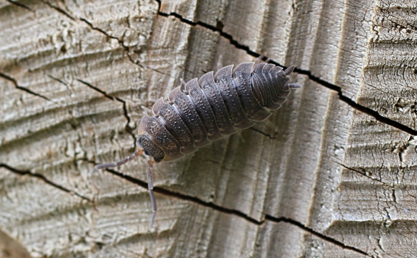 Common woodlouse Oniscus asellus