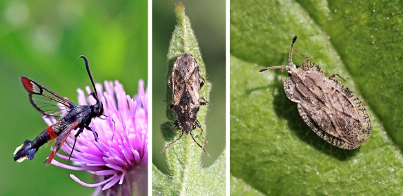 Red-tipped clearwing, nettle and spear-thistle lacebug