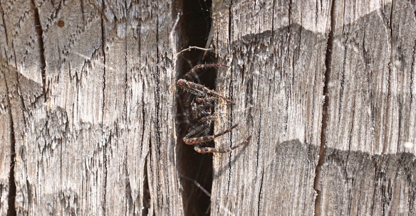 Walnut orb spider