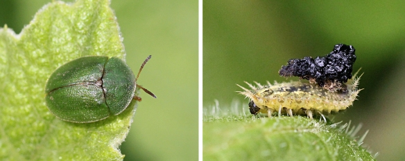 Tortoise beetle and larva