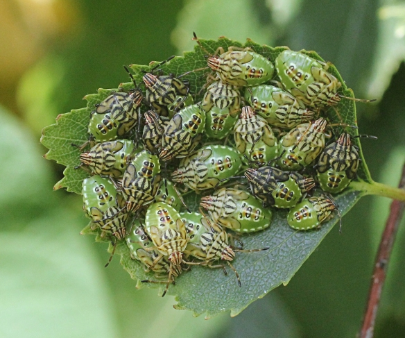 Parent bug nymphs with not a parent in sight