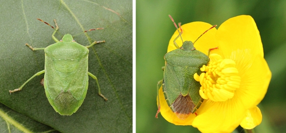 Southern green shield bug (left), and Common green shield bug