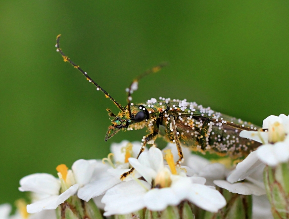 Thick-legged beetle Oedemera nobilis covered in pollen