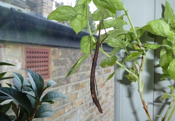 Hanging from the basil