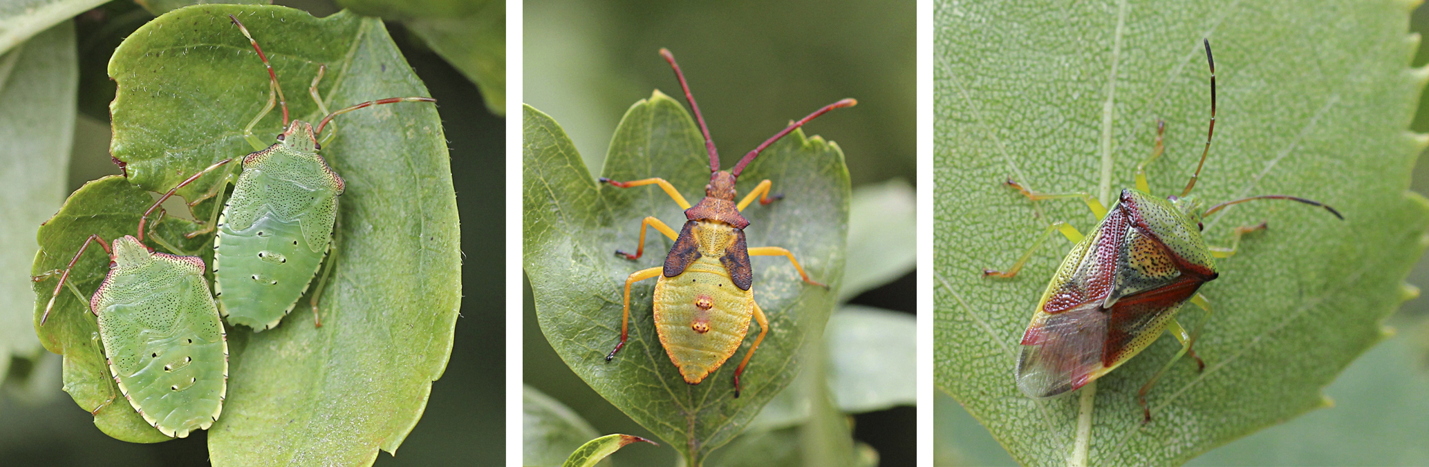 Hawthorn shield bug nymphs, box bug nymph, birch shield bug