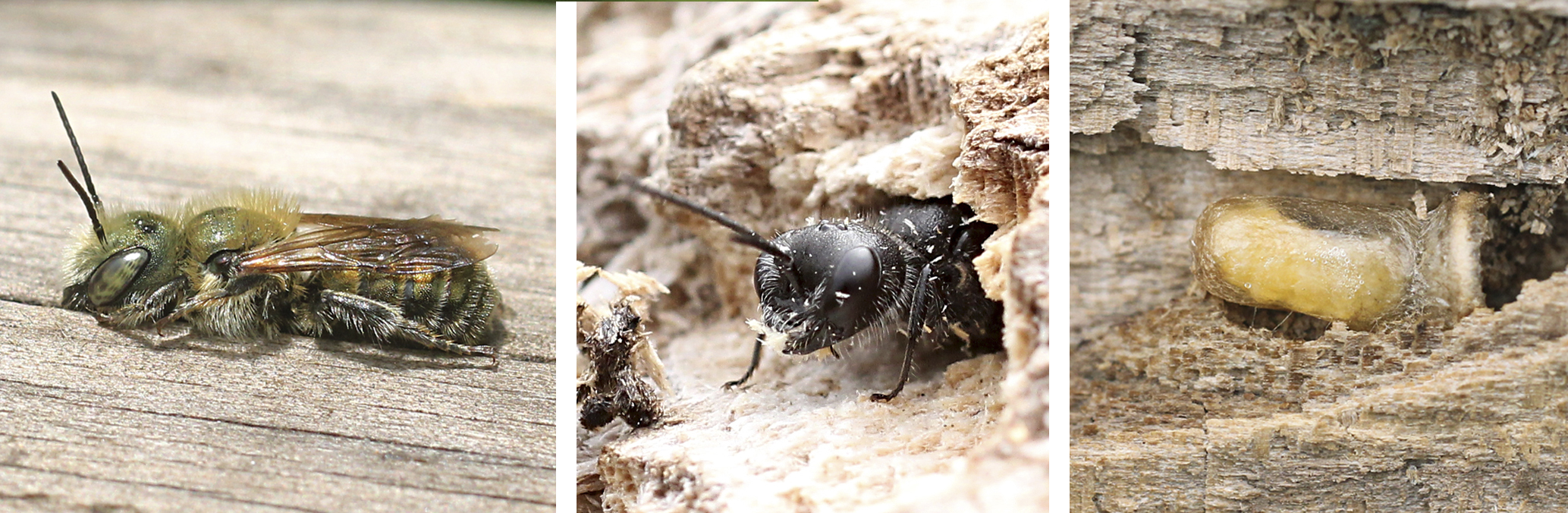 Solitary bee, wasp, and wasp larva in cocoon
