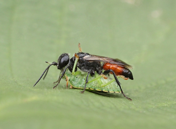 Solitary wasp with shield bug nymph