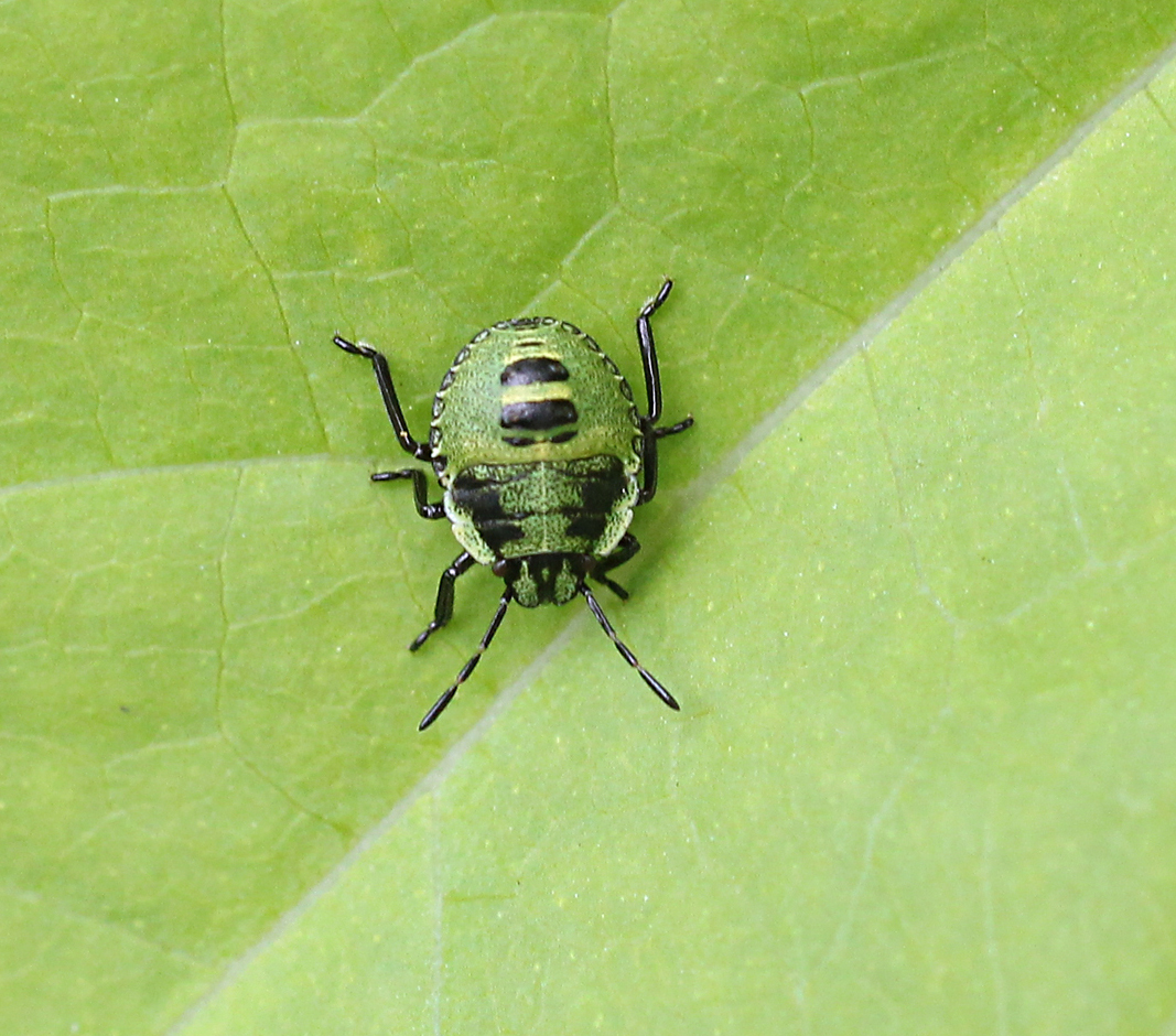 Common green shield bug nymph