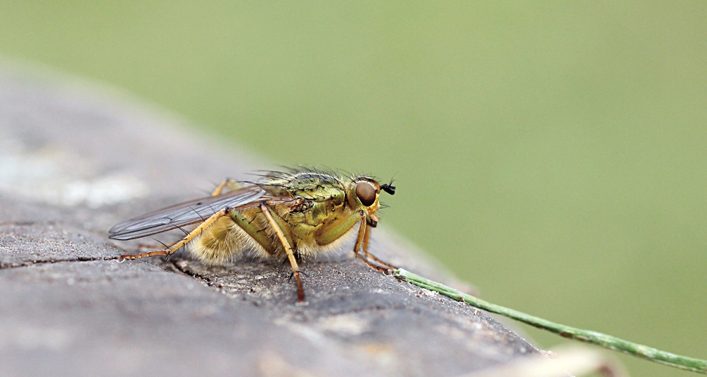 yellow-dung-fly_4130